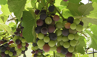 Grapes in Winery