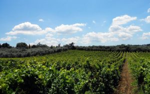 casal-marchese-vineyard