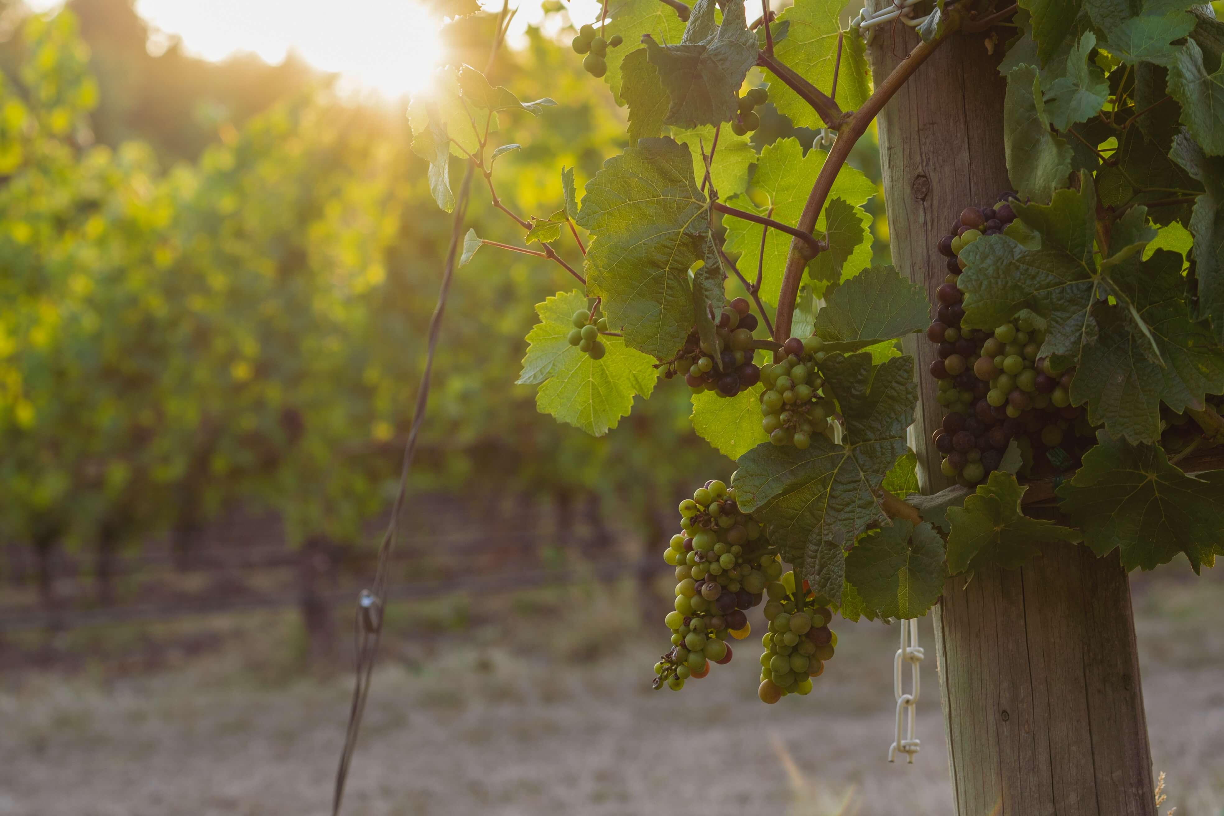 Portuguese wine remains truly unique. With many different grape varieties that can't be found elsewhere in the world, it is no wonder why this country is known for its excellent wine