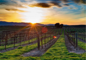 Vineyards in California wine regions are a sight to be seen and an experience to be savoured.