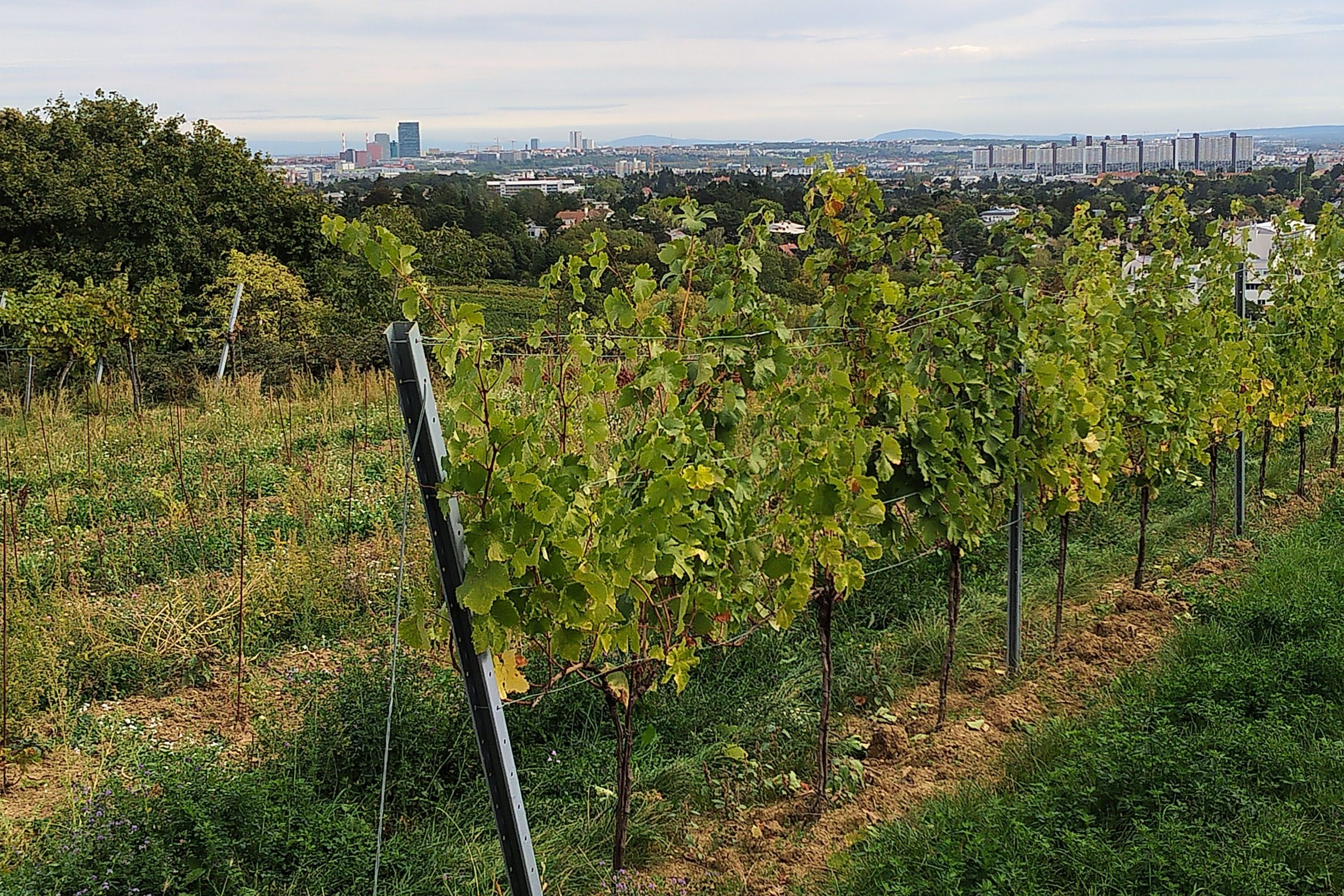 Vineyard in the city