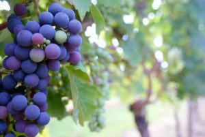 Tempranillo, the quintessential Spanish grape, is known for its thick skin and beautiful juxtaposition of both earthy and fruity characteristics.