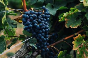 Chilean wine is characterized not only by its rich and bold red grape varietals but also, its crisp and fruit-forward white grapes, offering something for everyone.