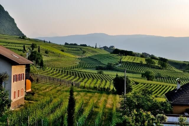 An image depicting a rolling hillside covered in vineyards.