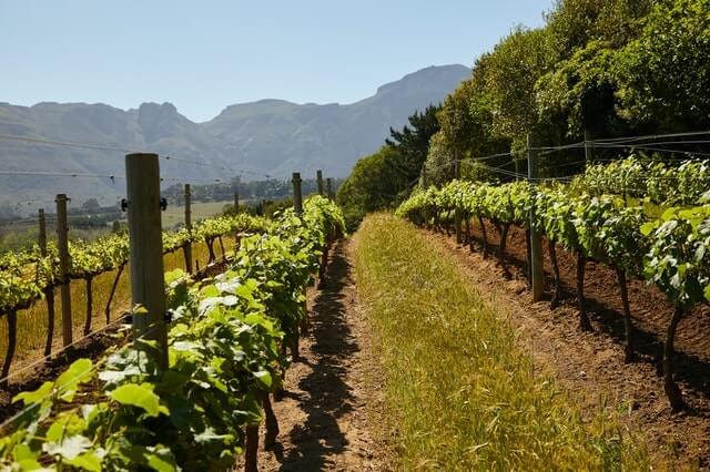 An image of a grape vineyard surrounded by rolling hills and mountains